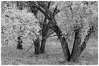 Orchard trees in fall colors, Fuita. Capitol Reef National Park, Utah, USA. (black and white)