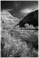 Blooming sage and cottonwoods in autum colors, Fremont River Canyon. Capitol Reef National Park ( black and white)
