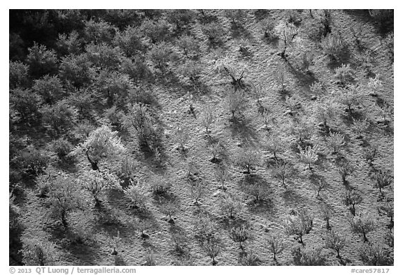 Orchard trees in autumn from above. Capitol Reef National Park (black and white)
