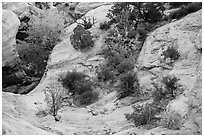 Shrubs with fall foliage and sandstone ledges. Capitol Reef National Park, Utah, USA. (black and white)