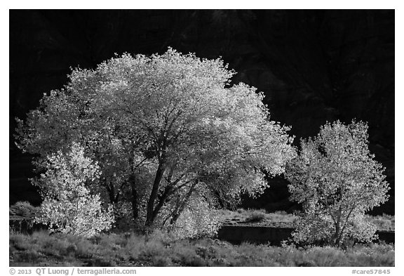 Cottonwood trees in autumn against cliffs. Capitol Reef National Park (black and white)