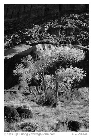 Basalt boulders, Cottonwoods in fall, cliff base. Capitol Reef National Park (black and white)