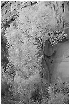 Cottonwood in fall foliage against sandstone cliff. Capitol Reef National Park ( black and white)