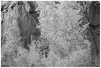 Trees in fall foliage against sandstone cliff. Capitol Reef National Park ( black and white)