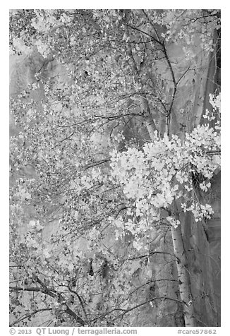Aspen tree in autumn foliage against red cliff. Capitol Reef National Park (black and white)