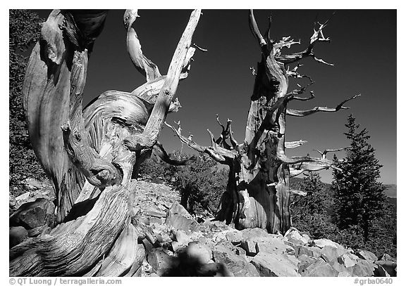 Bristlecone Pine trees near Wheeler Peak, morning. Great Basin National Park (black and white)