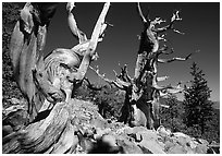 Bristlecone Pine trees near Wheeler Peak, morning. Great Basin National Park ( black and white)