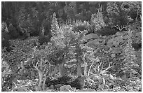 Bristlecone Pine trees and tallus, Wheeler cirque. Great Basin National Park, Nevada, USA. (black and white)