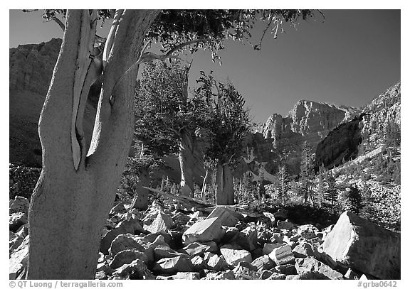 Bristlecone Pine trees and Wheeler Peak, morning. Great Basin National Park (black and white)
