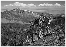 Bristlecone pine tree on slope overlooking desert, Mt Washington. Great Basin National Park, Nevada, USA. (black and white)