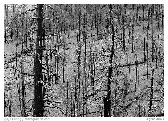 Forest of burned trees. Great Basin  National Park (black and white)