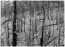Forest of burned trees. Great Basin National Park ( black and white)
