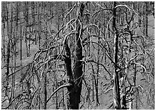 Burned trees on hillside. Great Basin National Park ( black and white)