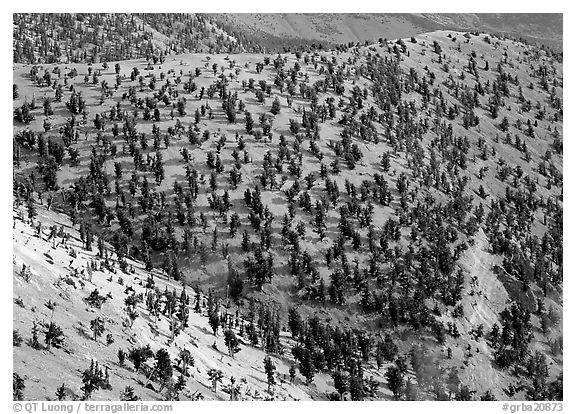 Grove of Bristlecone Pines on hillside near Mt Washington, morning. Great Basin  National Park (black and white)