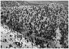 Hillside covered by forest of Bristlecone Pines near Mt Washington. Great Basin National Park, Nevada, USA. (black and white)