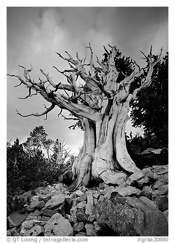 Ancient Bristlecone Pine, Wheeler Peak Basin, afternoon. Great Basin National Park (black and white)