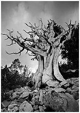 Ancient Bristlecone Pine, Wheeler Peak Basin, afternoon. Great Basin National Park, Nevada, USA. (black and white)