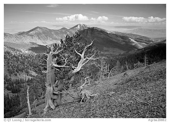Bristelecone pines on Mt Washington, overlooking valley and distant ranges. Great Basin National Park (black and white)
