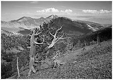 Bristelecone pines on Mt Washington, overlooking valley and distant ranges. Great Basin National Park, Nevada, USA. (black and white)