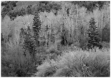 Tapestry of shrubs and trees in early spring. Great Basin National Park, Nevada, USA. (black and white)