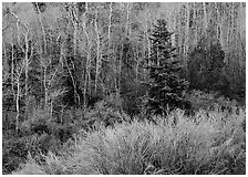 Trees just leafing out amongst bare trees. Great Basin National Park ( black and white)