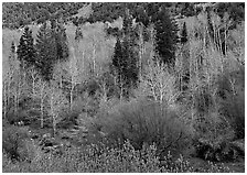 Bare trees, new leaves, and conifers. Great Basin National Park ( black and white)