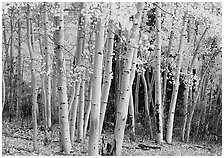 Pictures of Aspens