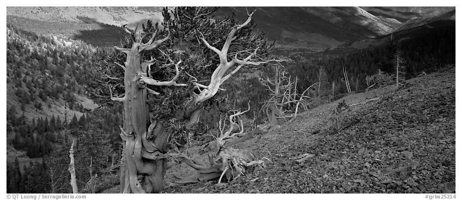 Bristlecone pine on rocky slope. Great Basin National Park (black and white)