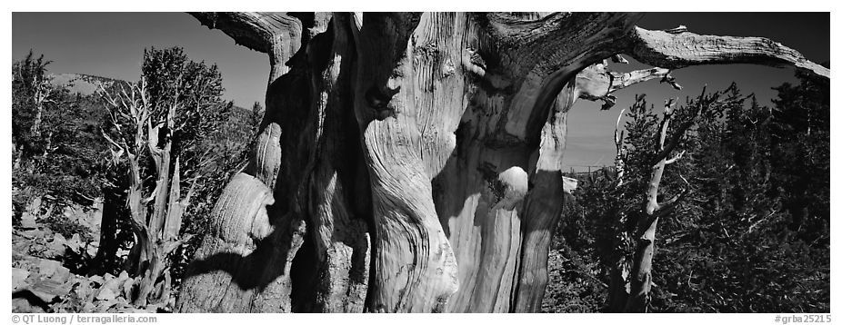 Ancient bristlecone pines. Great Basin National Park (black and white)