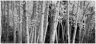Autumn aspens, Windy Canyon, Snake Creek. Great Basin National Park (Panoramic black and white)