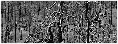 Burned trees landscape. Great Basin National Park (Panoramic black and white)