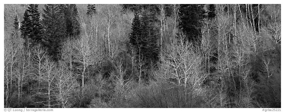 Bare trees in early spring. Great Basin National Park (black and white)