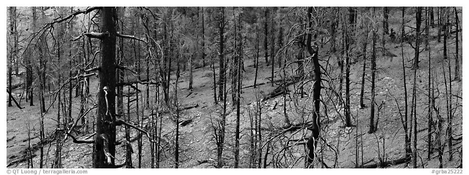 Burned forest. Great Basin National Park (black and white)