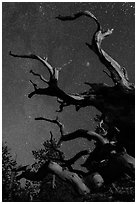Twisted branches of bristlecone pine and stars. Great Basin National Park, Nevada, USA. (black and white)