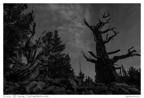 Bristlecone pine trees with last stars at pre-dawn. Great Basin National Park (black and white)