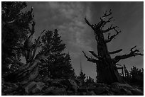 Bristlecone pine trees with last stars at pre-dawn. Great Basin National Park ( black and white)