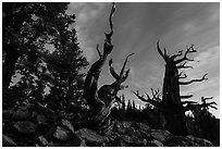 Bristlecone pine trees at twilight, Wheeler cirque. Great Basin National Park, Nevada, USA. (black and white)