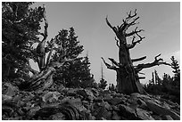 Bristlecone pine trees at dawn, Wheeler cirque. Great Basin National Park, Nevada, USA. (black and white)