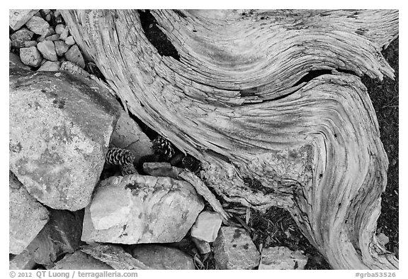 Ground close-up with quartzite, bristlecone pine cones and roots. Great Basin National Park (black and white)