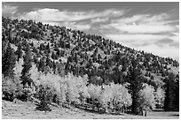 Mixed forest in autumn foliage. Great Basin National Park ( black and white)