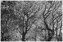 Trees with leaves in autumn foliage. Great Basin National Park ( black and white)