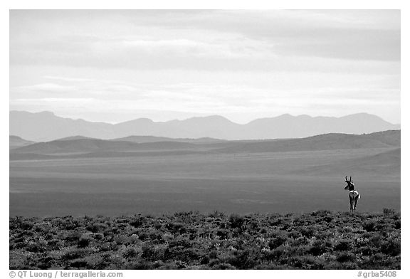 Desert antelope and hazy mountain range. Great Basin National Park (black and white)