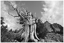 Bristlecone Pine tree, Wheeler Peak Basin, afternoon. Great Basin National Park ( black and white)