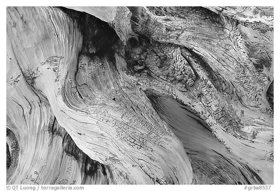Detail of Bristlecone pine roots. Great Basin National Park, Nevada, USA.