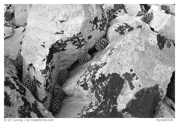 Lichen covered rocks and pine cones. Great Basin National Park (black and white)