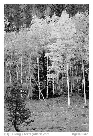 Aspen trees in fall color. Great Basin National Park (black and white)