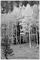 Aspen trees in fall color. Great Basin National Park ( black and white)