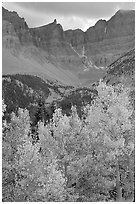 Aspens in fall color and Wheeler Peak. Great Basin National Park, Nevada, USA. (black and white)