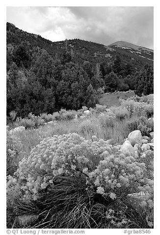 Sage in bloom and Snake Range. Great Basin National Park (black and white)