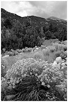 Sage in bloom and Snake Range. Great Basin National Park, Nevada, USA. (black and white)